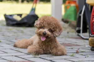 Information about Poodle Dogs is not known to everyone